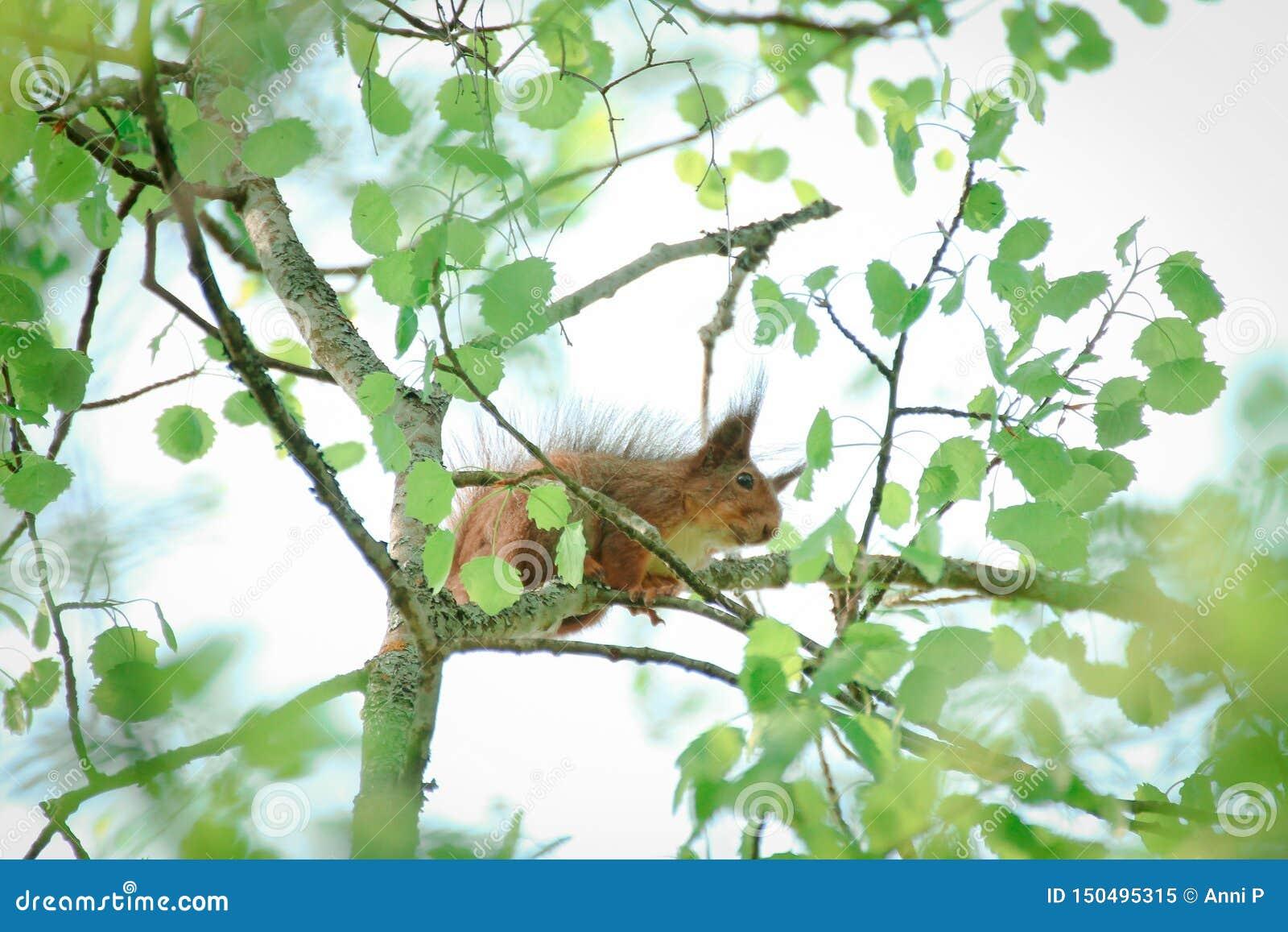 Schuwe eekhoorn op een boomtak