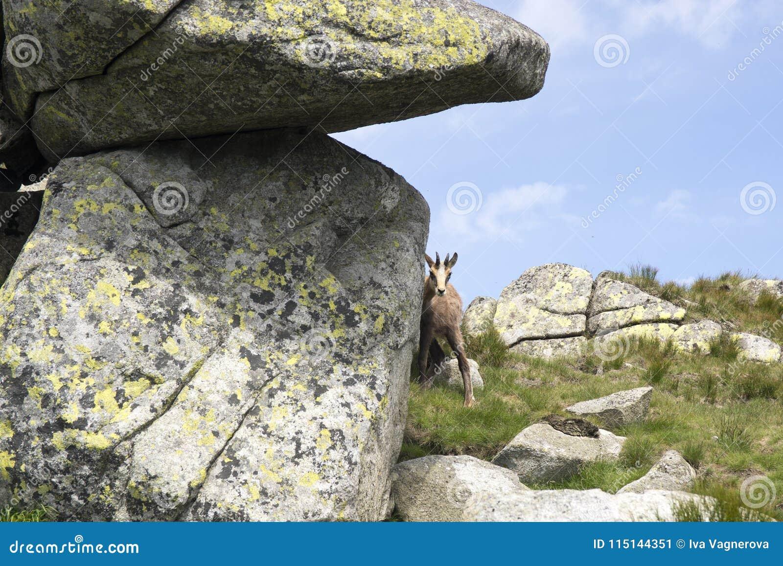 Schuwe en nieuwsgierige jonge tatragemzen die rond de rots gluren
