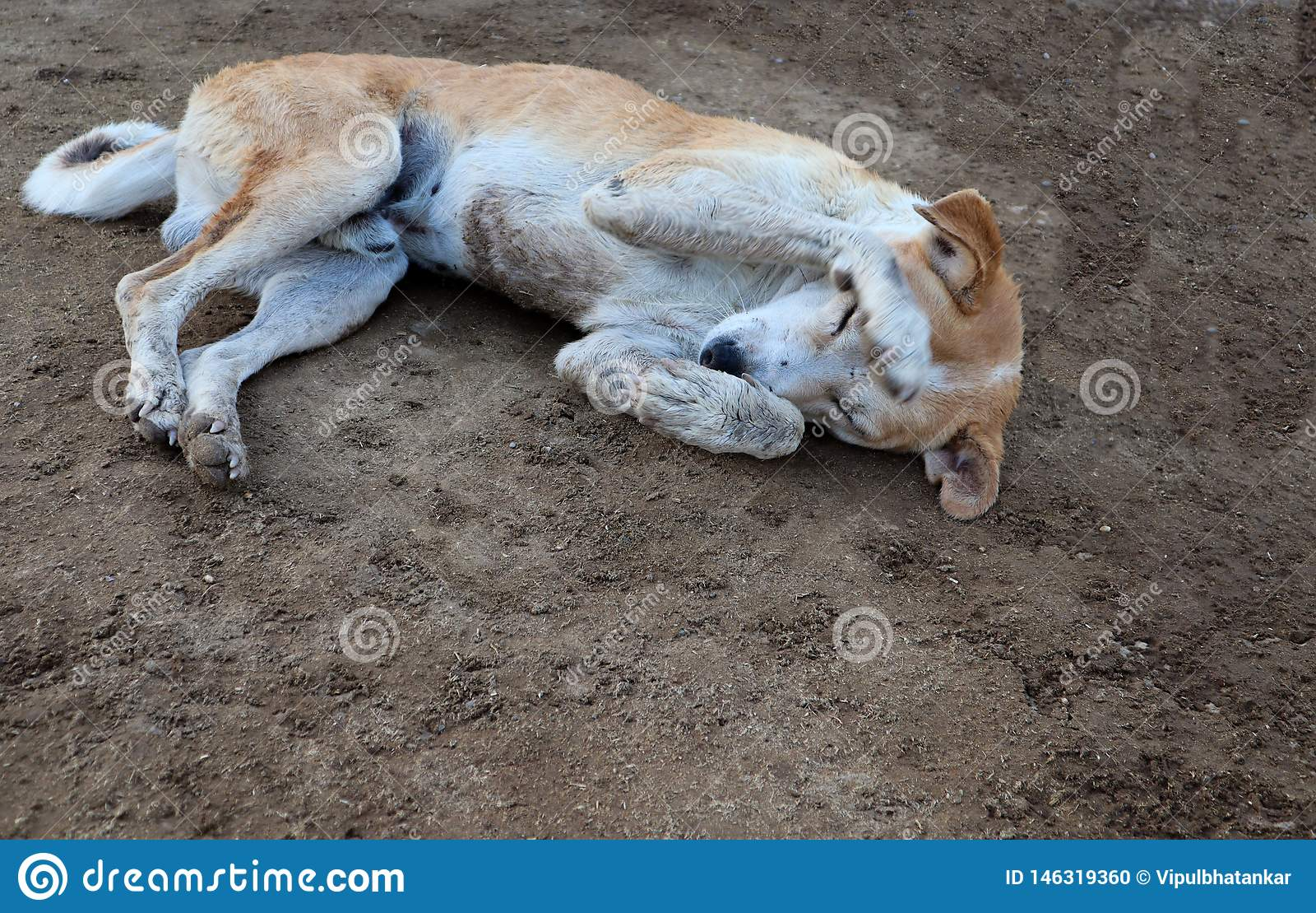 Schuwe hondslaap op grond