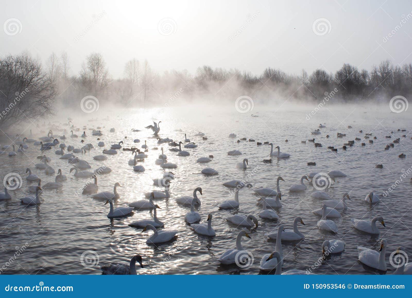 Schwäne, die im Nebel schwimmen