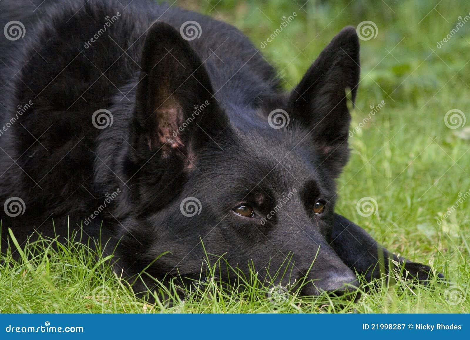 Schwärzen Sie Schäferhundhund