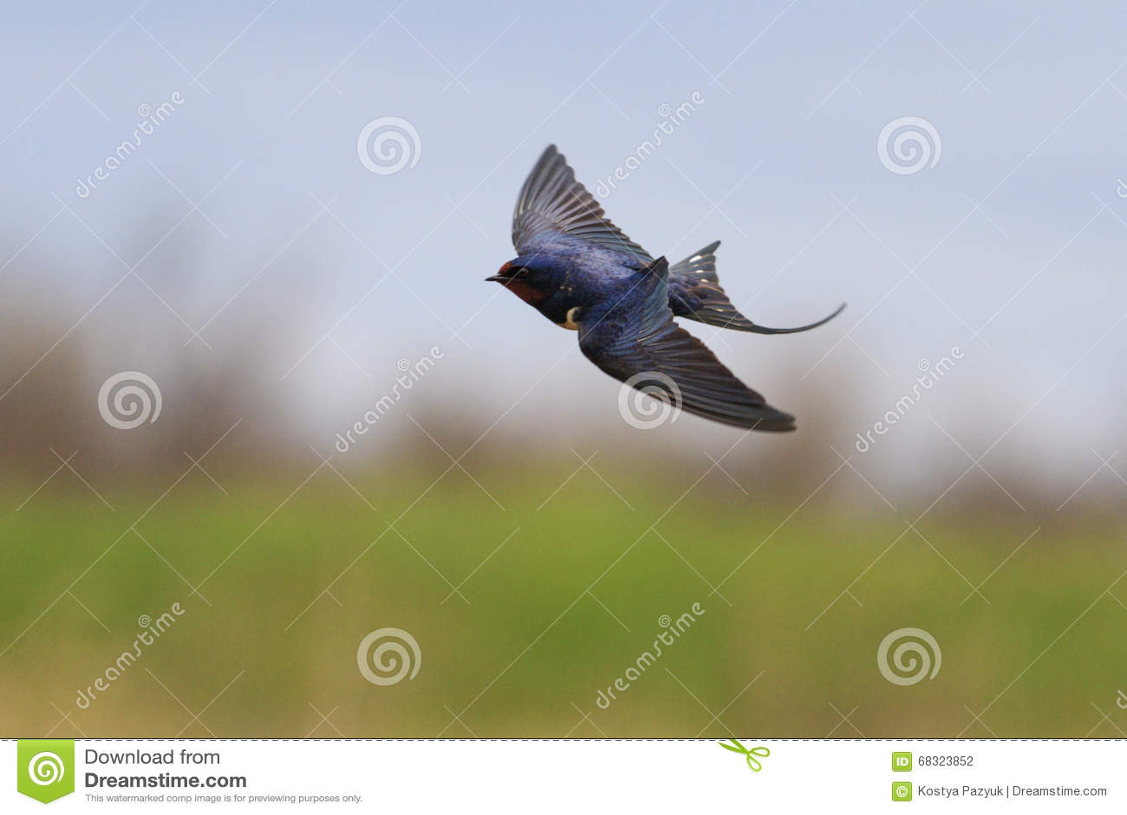 Schwalbe Fliegt über Ein Feld, Einzigartiger Rahmen Stockfoto - Bild ...