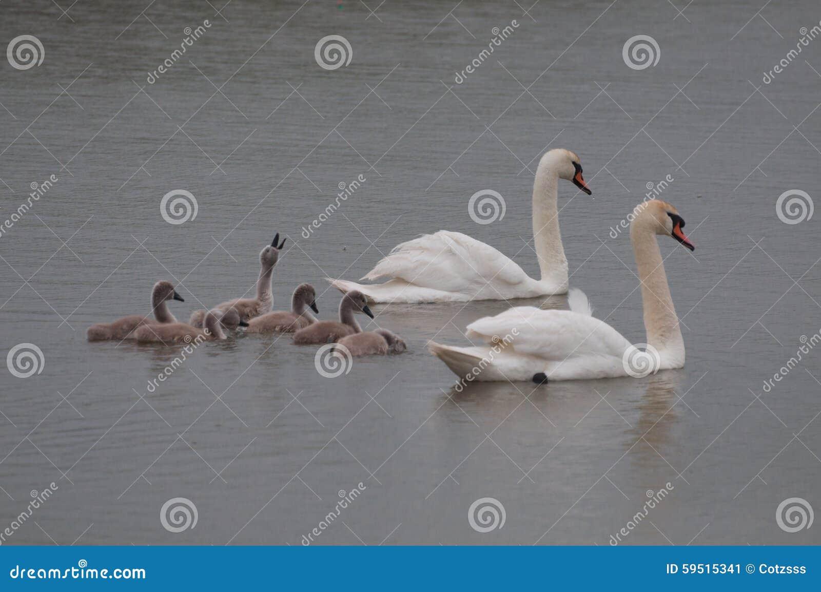Schwanfamilie und -küken, die Aufmerksamkeit verdienen