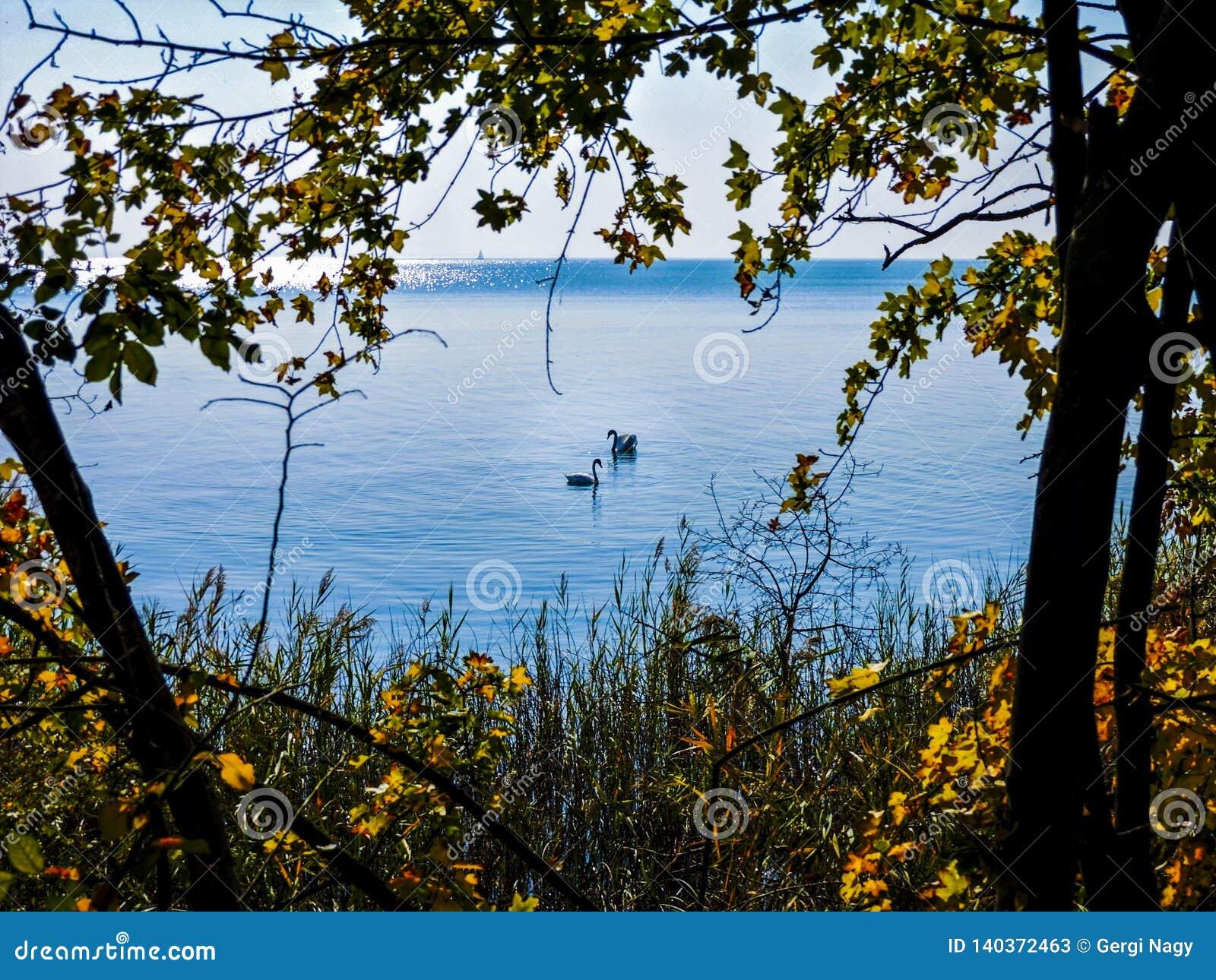 Schwanpaare auf dem See im Herbst
