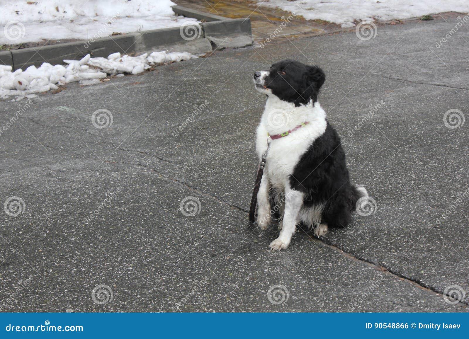 Schwarz Weißer Hund Der Auf Seinen Hinterbeinen Auf Dem Asphalt