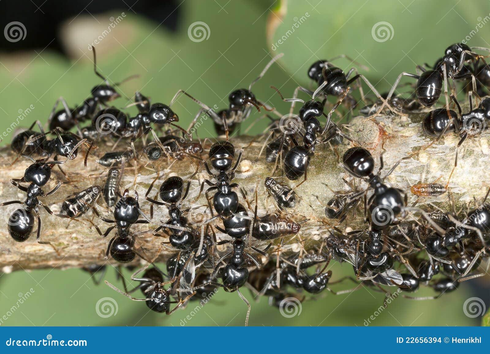 Schwarze Ameisen Die Auf Blattlause Ernten Stockfoto Bild Von
