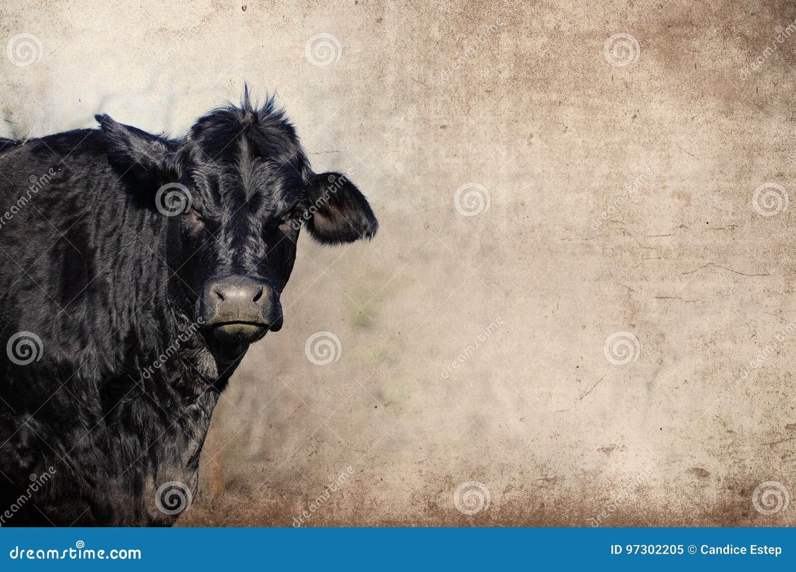 Schwarze Angus-Färse gegen rustikalen Schmutzhintergrund Zeigt Landwirtschaftsrinderfarm