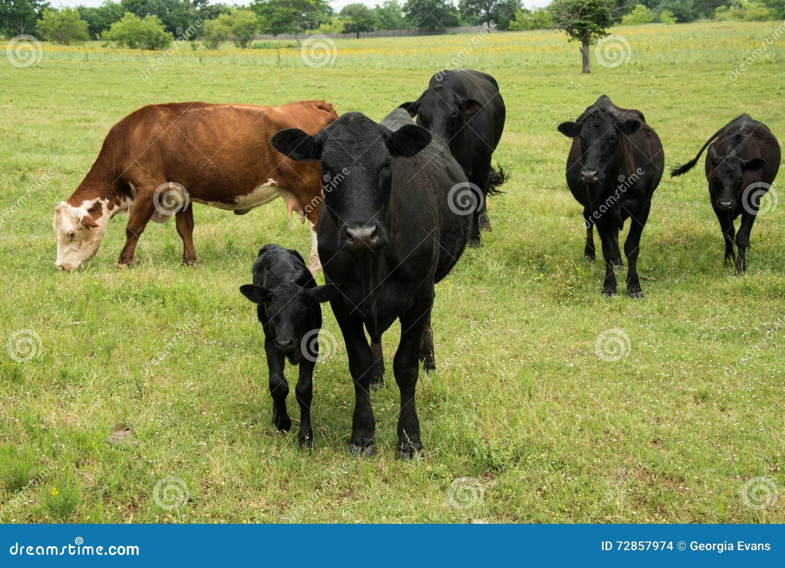 Schwarze Angus-Kuh und -kalb in der Herde auf grüner Weide