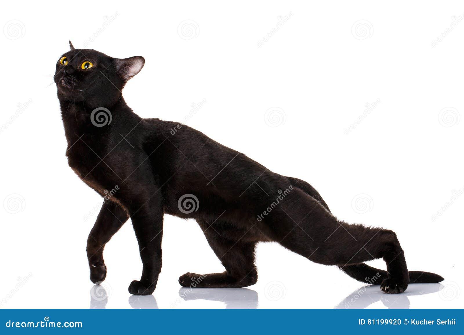 finest selection 8489b 3c6fb Schwarze Katze Bombays Verbog Einen Puma Stockfoto - Bild ...