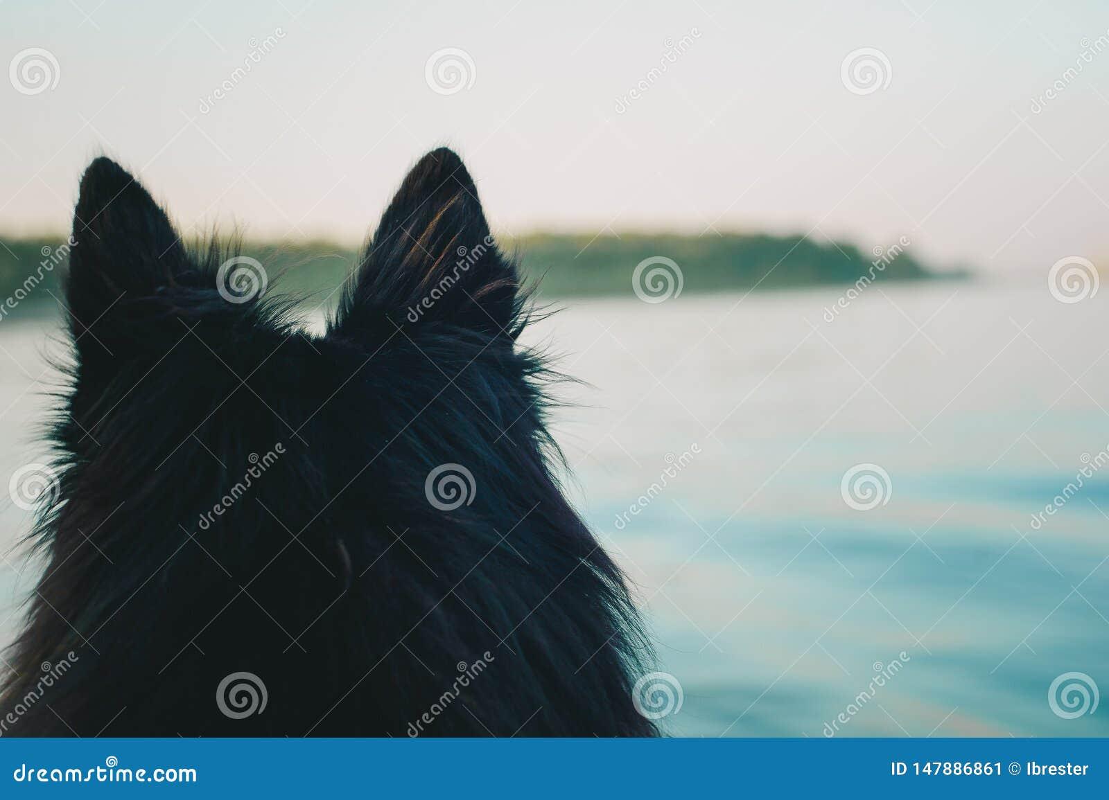 Schwarze Ohren R?ckseitige Ansicht Porträt des Groenendaelhundes