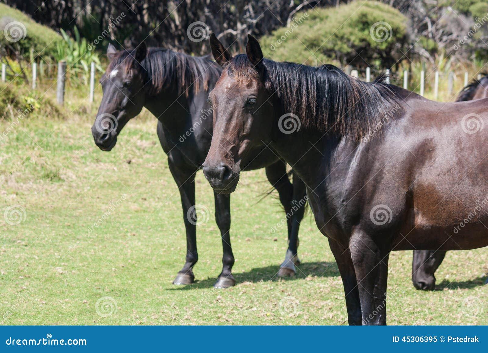schwarze pferde