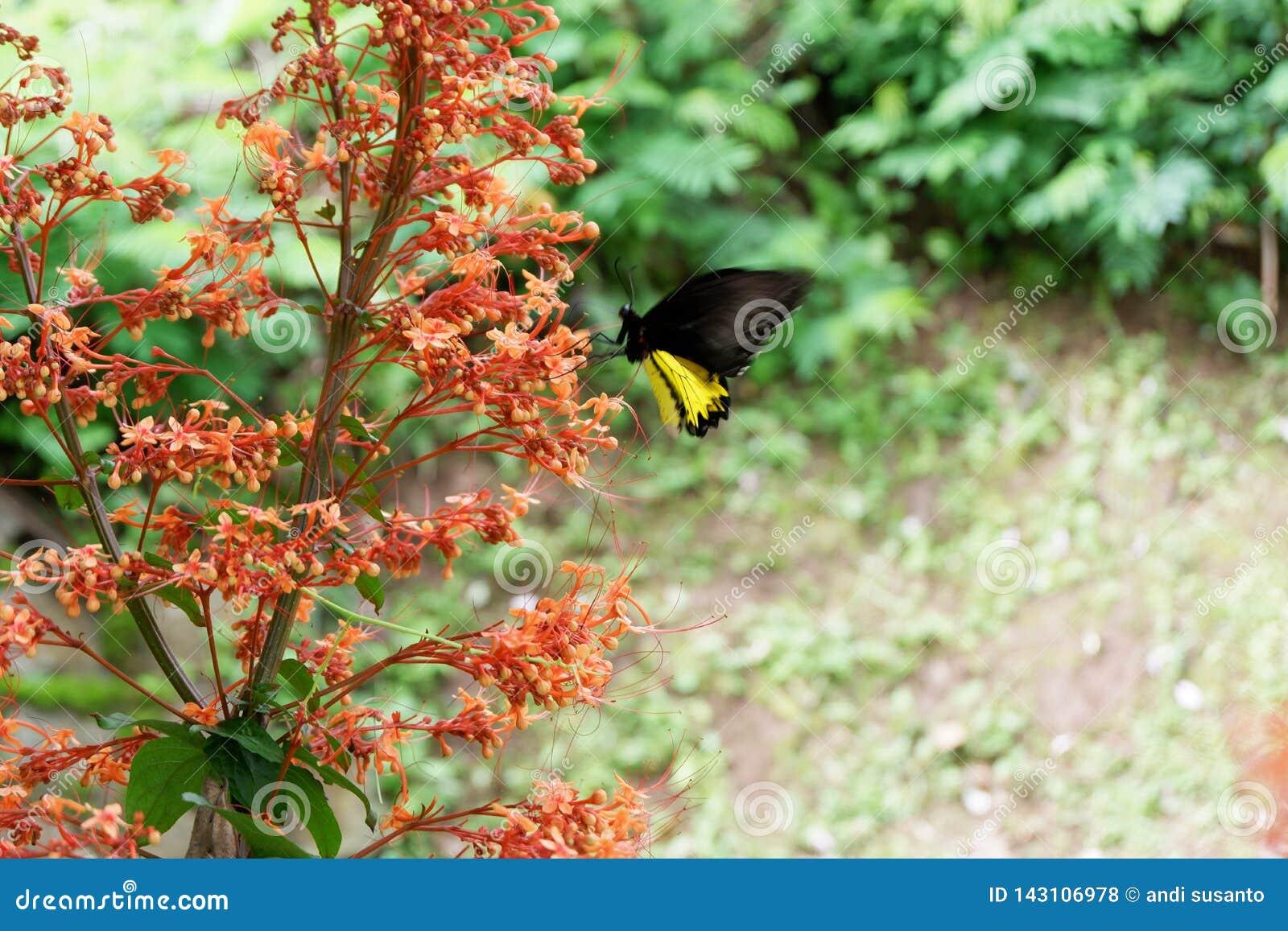 Schwarze Schmetterlinge hocken auf roten Blumen