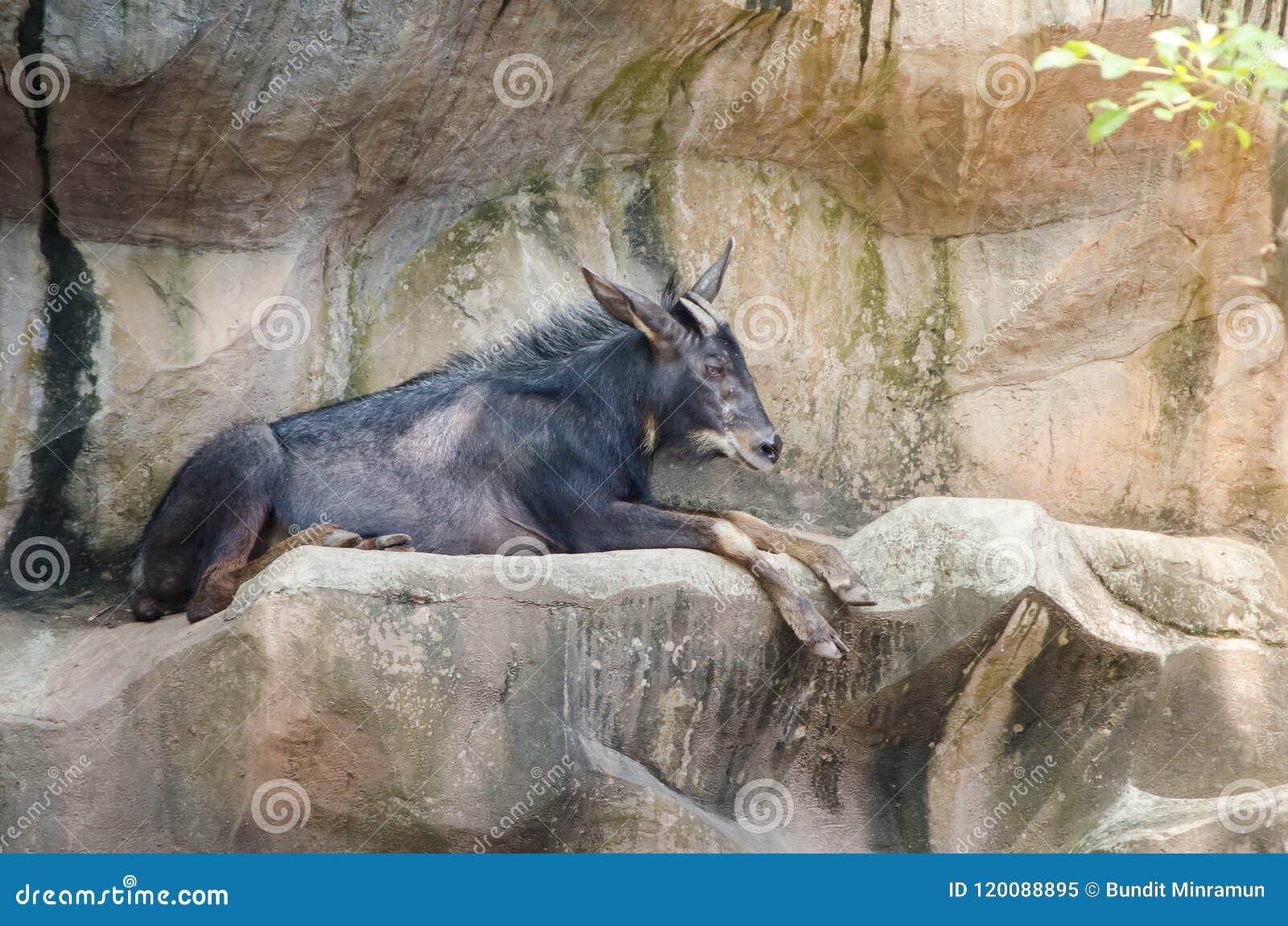 Schwarze serow Klasse Capricornis, der auf einem Felsenberg stillsteht