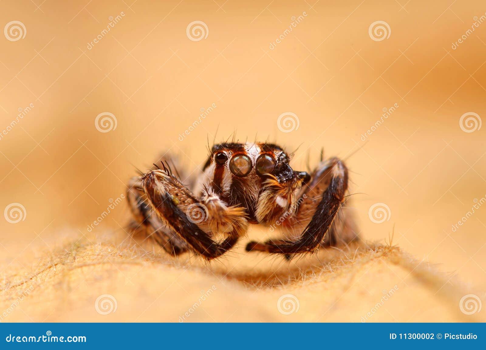 Schwarze springende Spinne