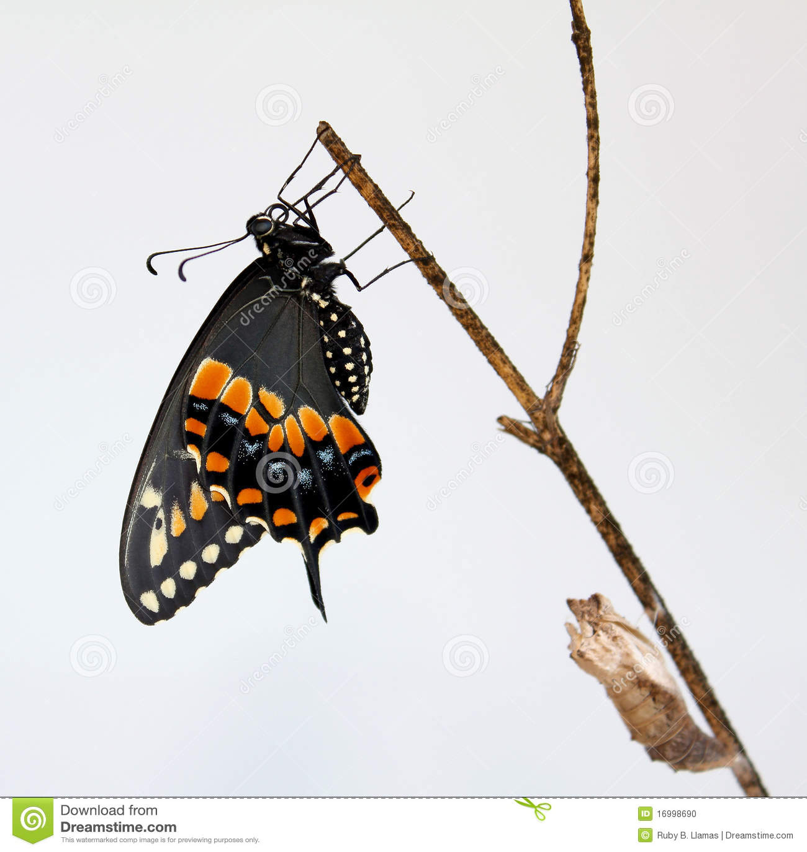 Schwarze Swallowtail Basisrecheneinheit