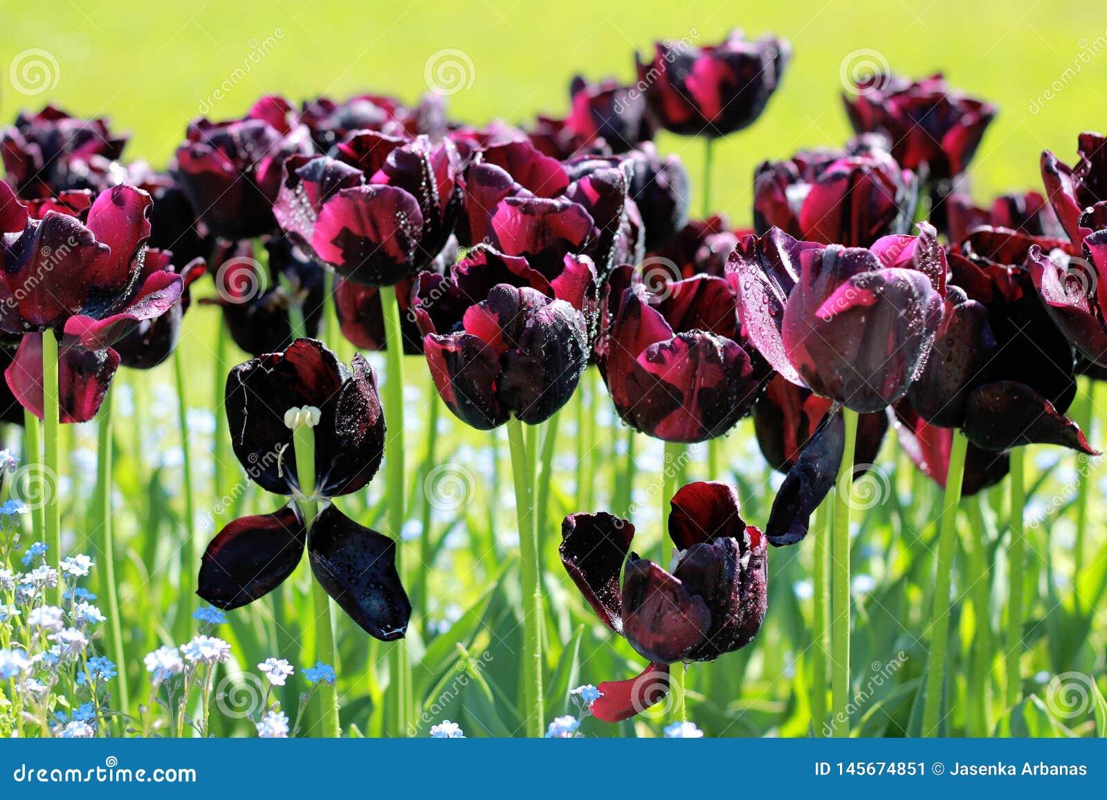 Schwarze Tulpen in meinem Garten