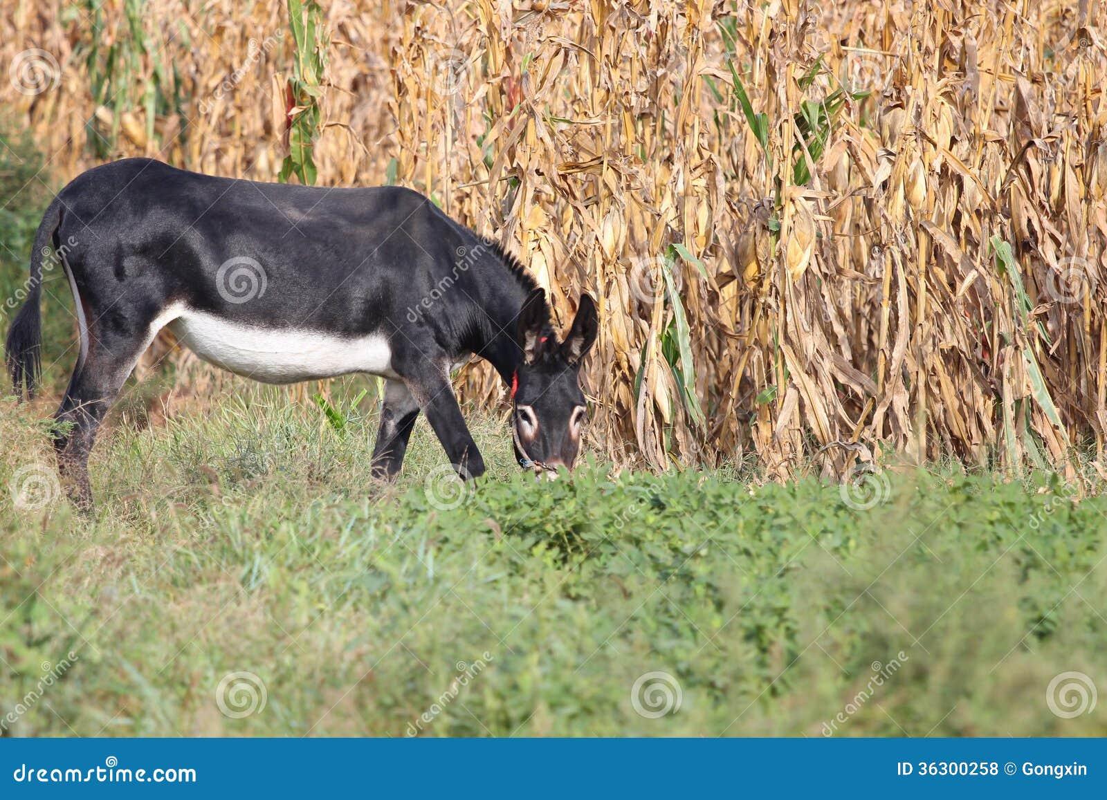 Schwarzes Esel-Sextband Großer schwarzer großer Schwanz