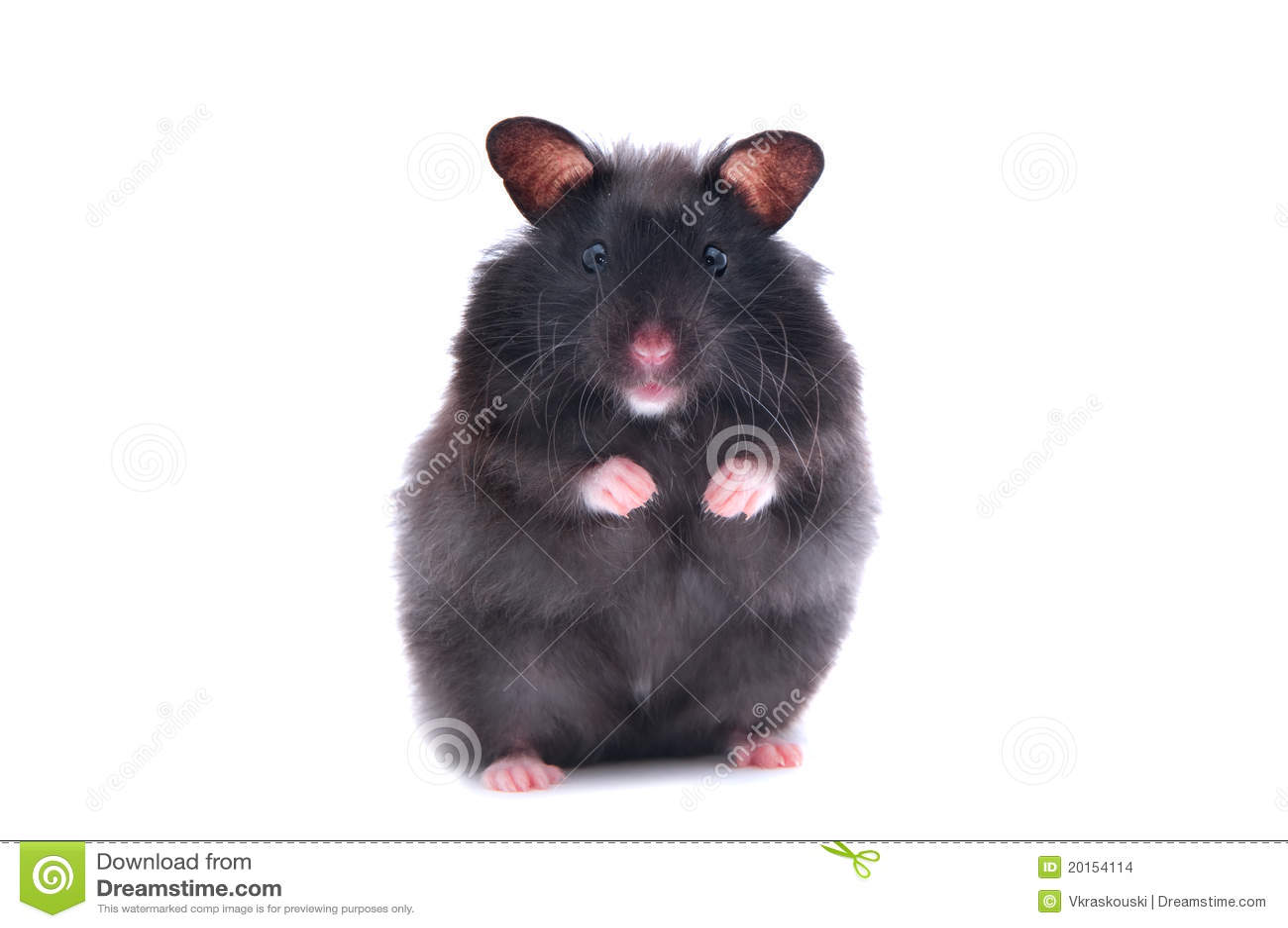 Schwarzer Hamster