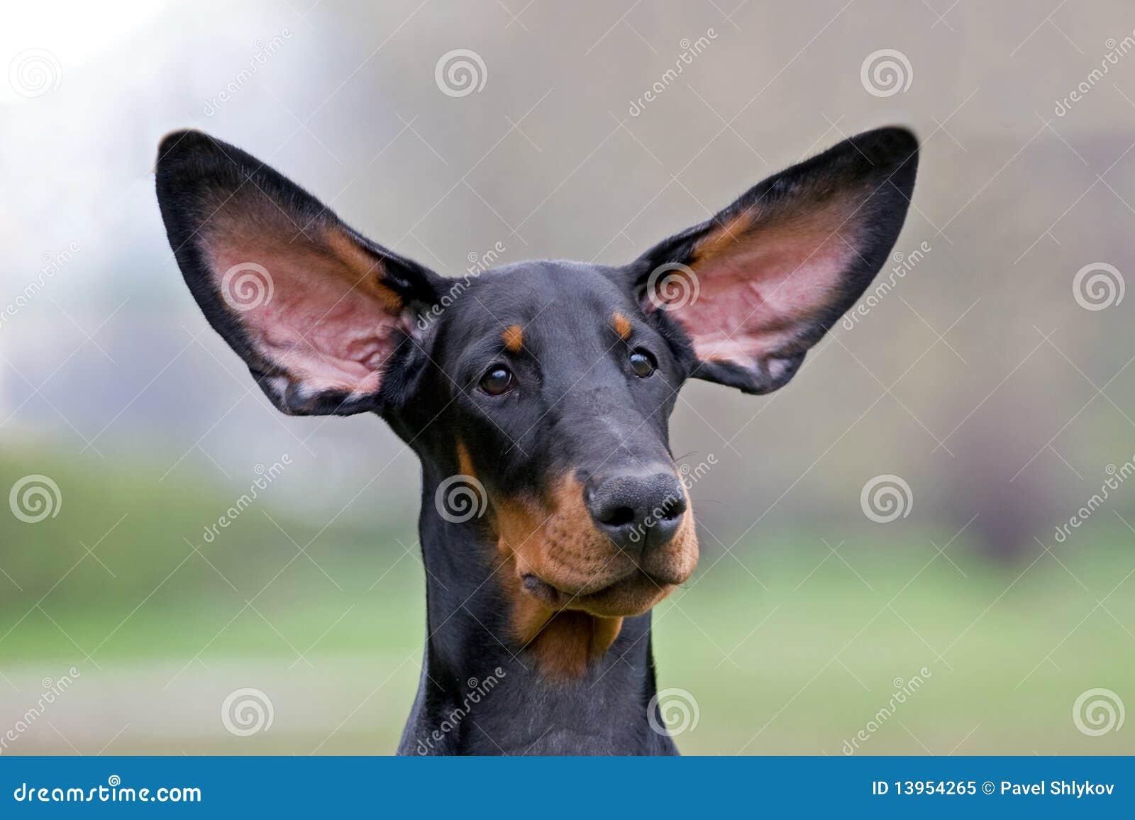 Schwarzer Hundeflugwesenohren