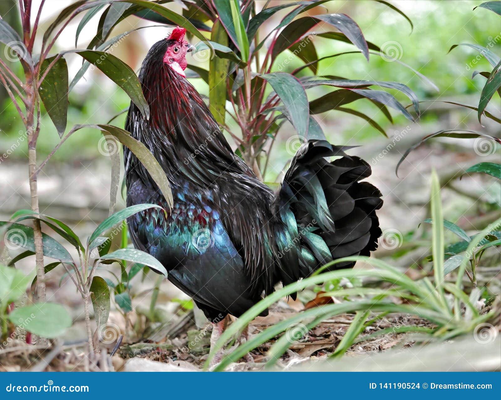 Schwarzer junger Hahn, Kuala Lumpur Bird Park