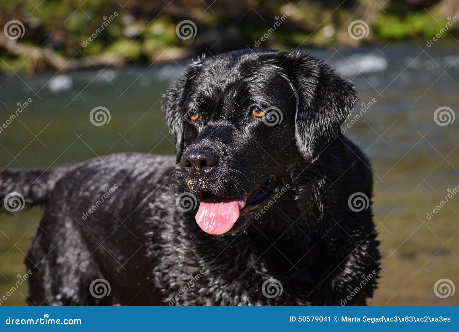 schwarzer labrador hund mit braunen augen und der zunge stockbild bild von hund schwarzes. Black Bedroom Furniture Sets. Home Design Ideas