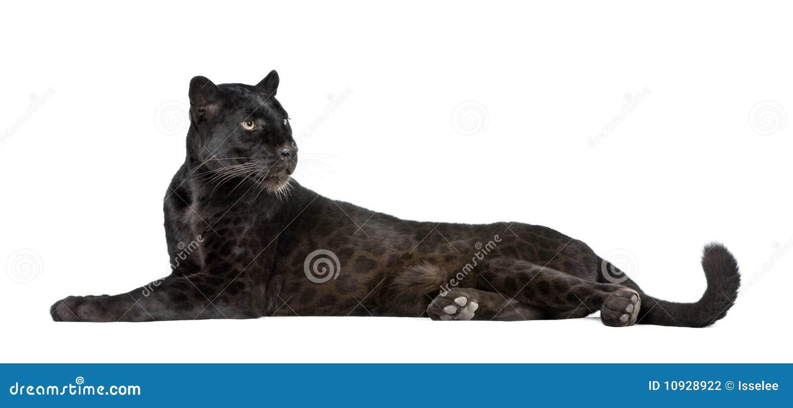 Schwarzer Leopard vor einem weißen Hintergrund