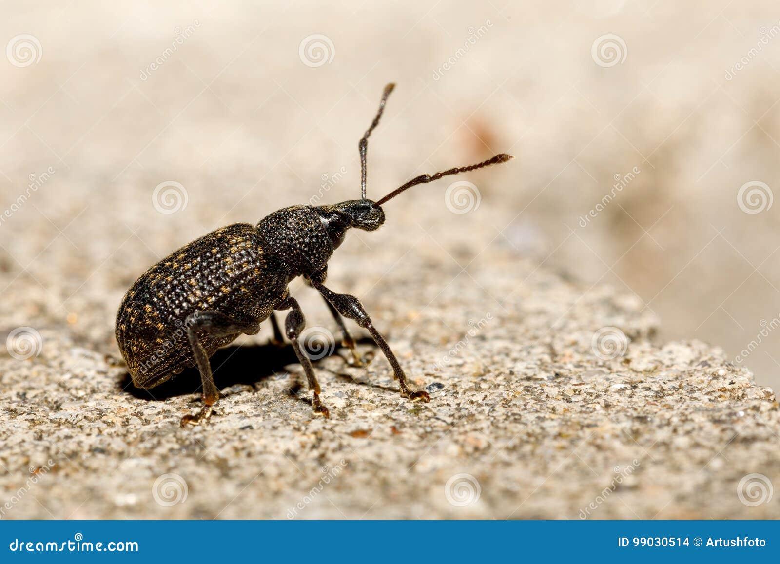 Schwarzer Rebrüsselkäfer - Otiorhynchus-sulcatus