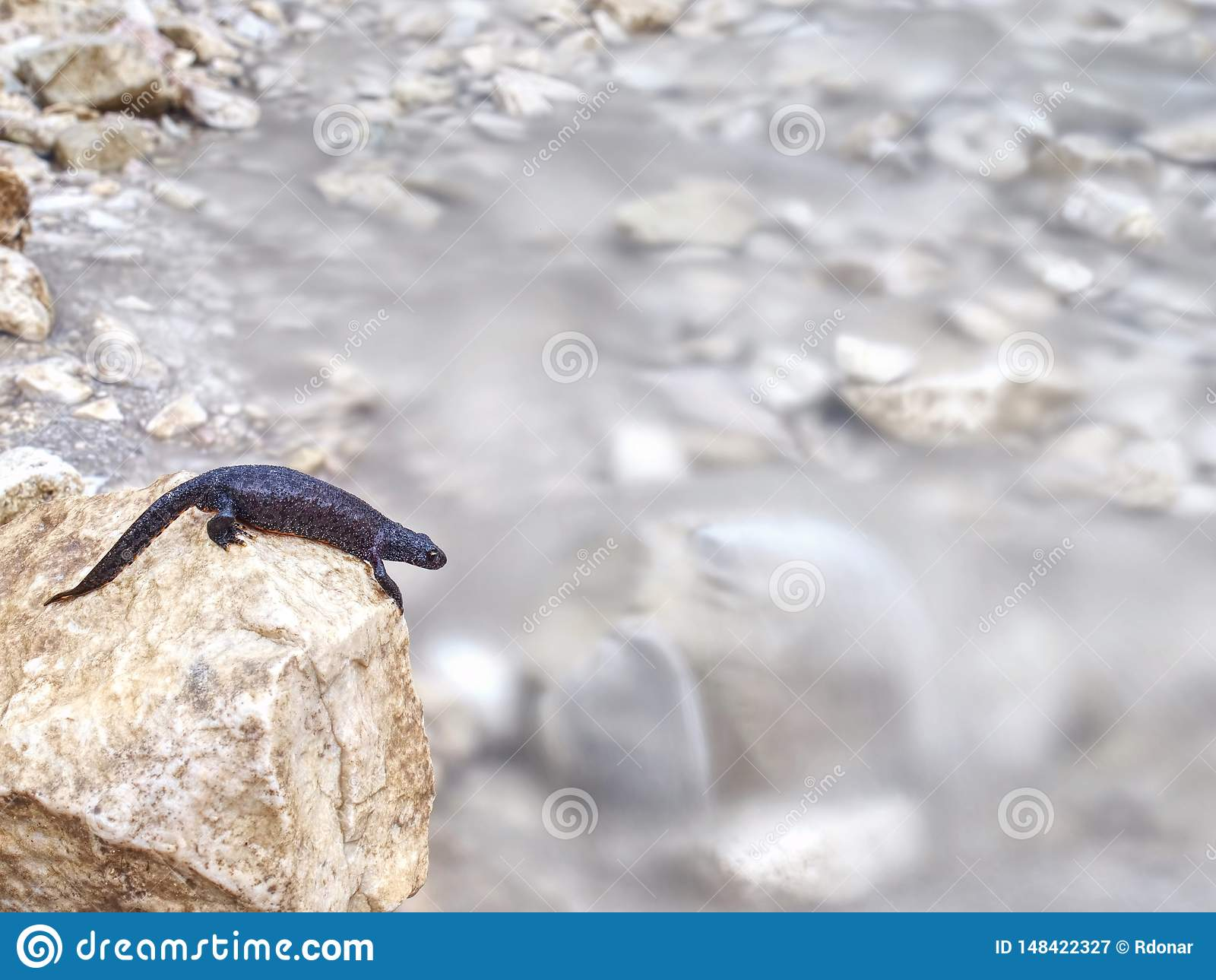 Schwarzer Salamander - Amphibie, die auf dem Stein liegt