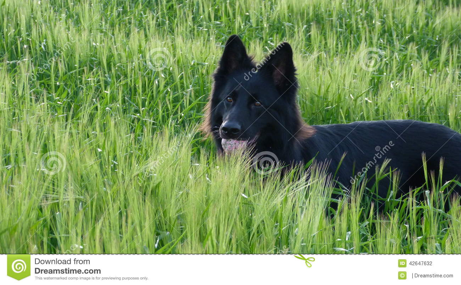 Schwarzer Schäferhundhund auf dem Gerstengebiet