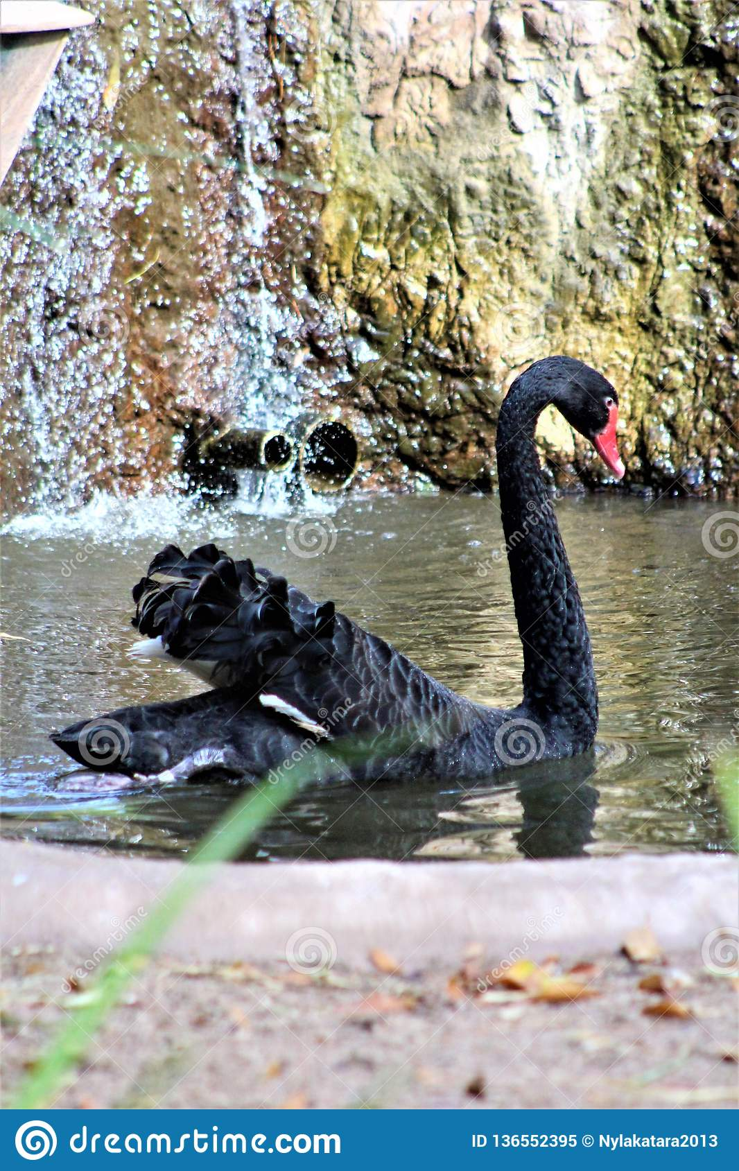 Schwarzer Schwan am Phoenix-Zoo in Phoenix, Arizona in den Vereinigten Staaten