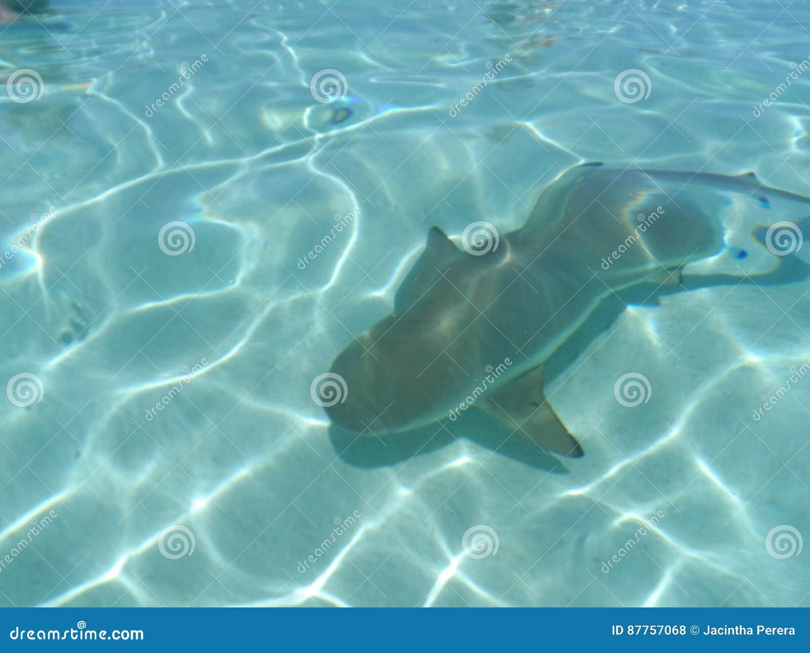 Schwarzer Spitze-Haifisch