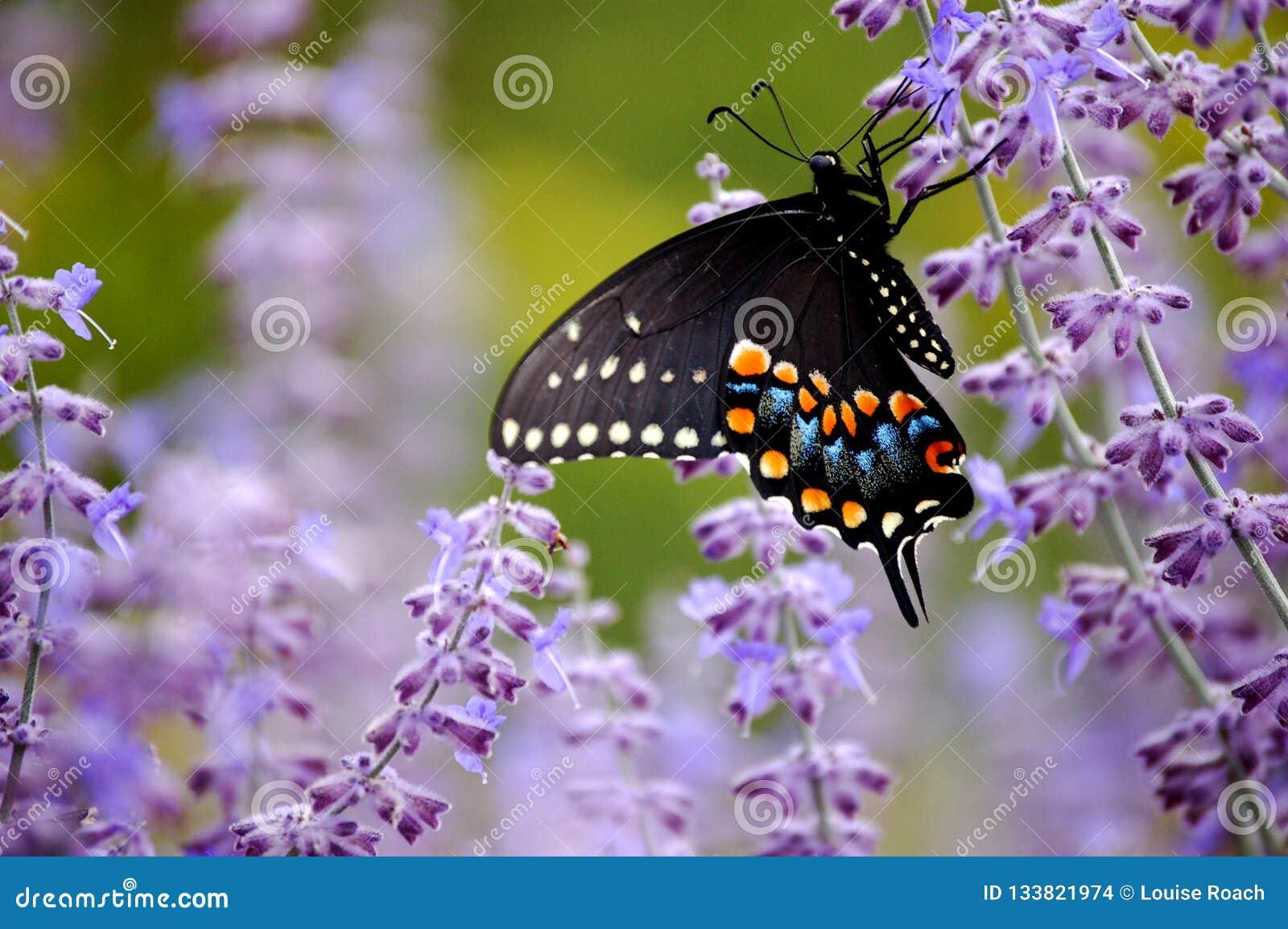 Schwarzer Swallowtail-Schmetterling mit purpurroten Blumen