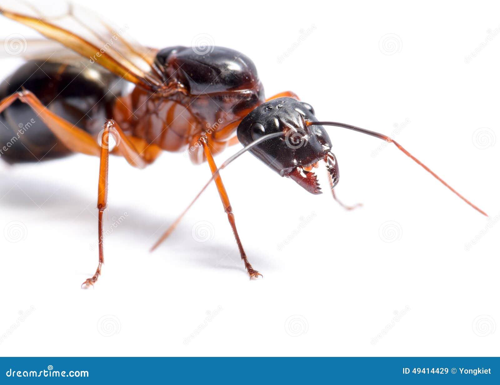 Download Schwarzer Tischler Ant (Camponotus Pennsylvanicus) Stockbild - Bild von tier, winged: 49414429