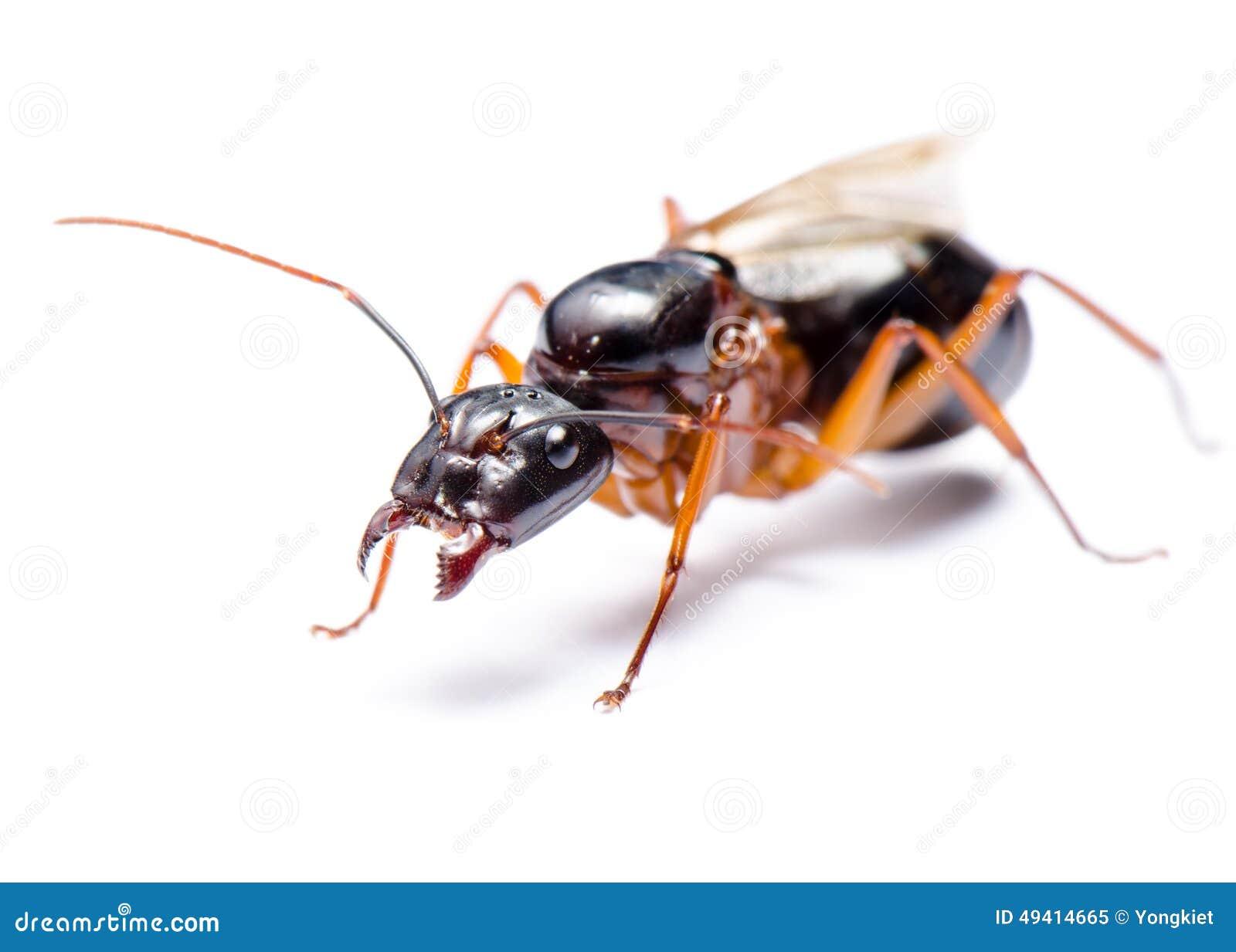 Download Schwarzer Tischler Ant (Camponotus Pennsylvanicus) Stockbild - Bild von weiß, tier: 49414665