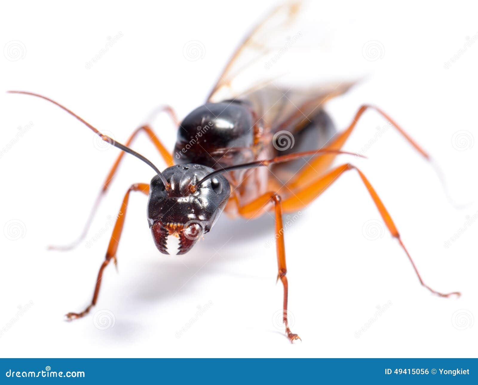 Download Schwarzer Tischler Ant (Camponotus Pennsylvanicus) Stockfoto - Bild von tischler, niemand: 49415056
