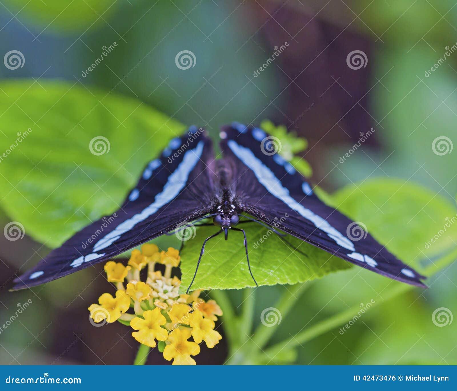 Schwarzer und blauer Schmetterling auf Anlage mit Blume