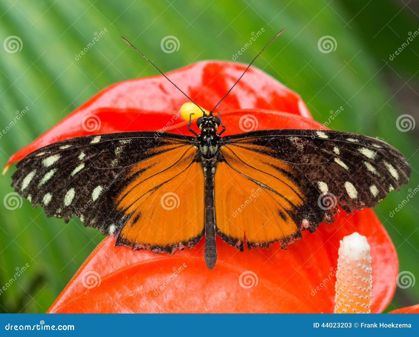 schwarzer und orange schmetterling auf roter orchidee stockfoto bild 44023203. Black Bedroom Furniture Sets. Home Design Ideas