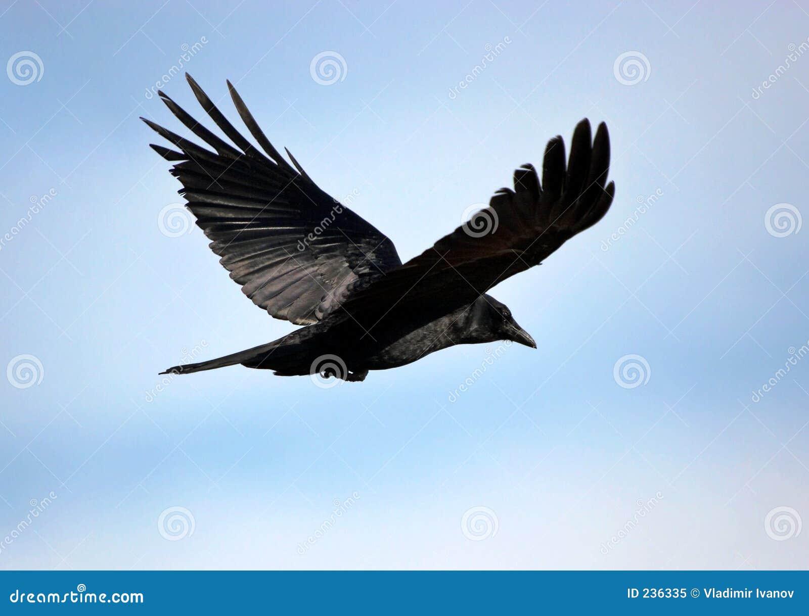 schwarzer vogel stockbild bild von leistung sch n w rdevoll 236335. Black Bedroom Furniture Sets. Home Design Ideas