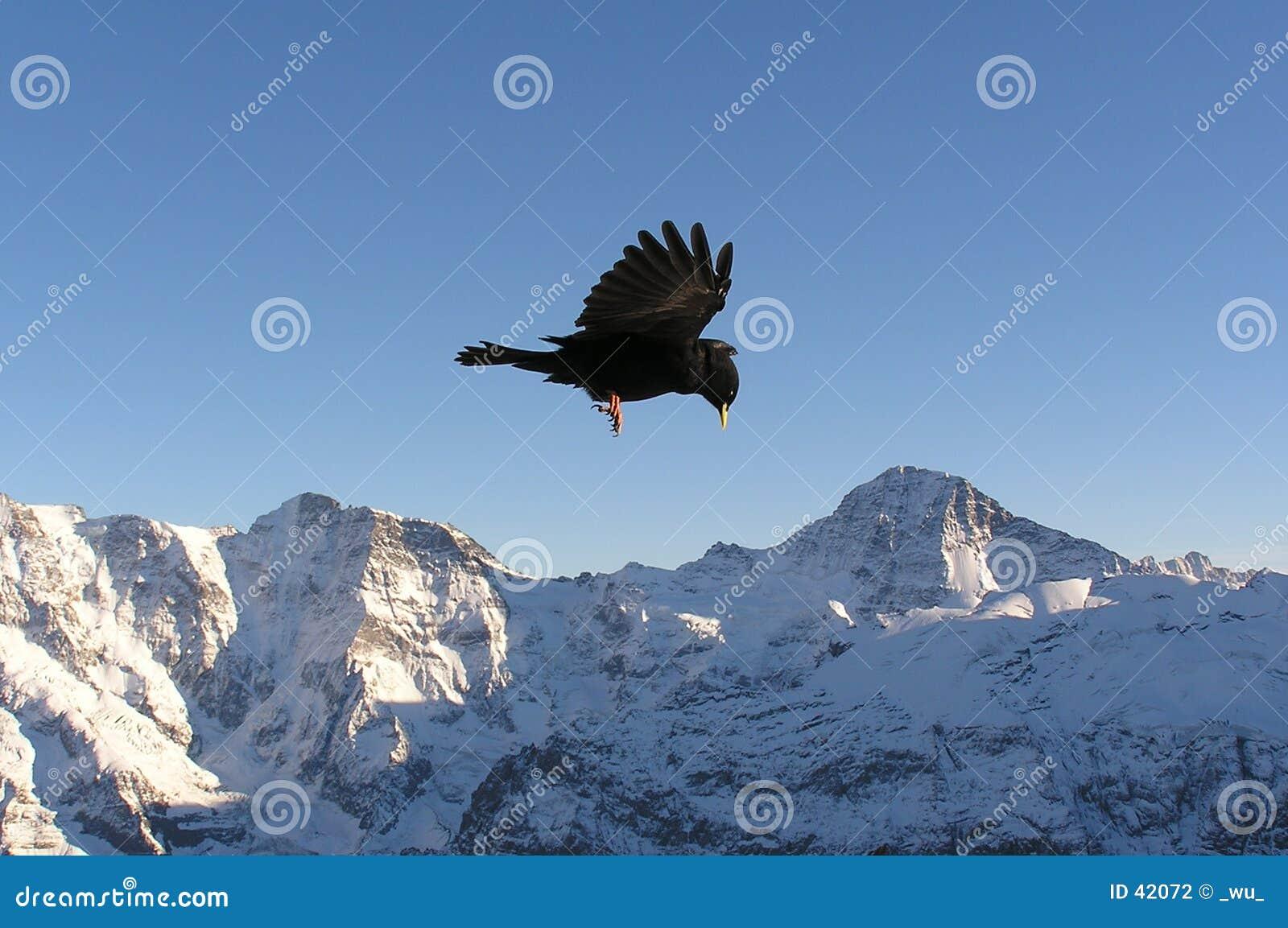 Schwarzer Vogel in den Alpen