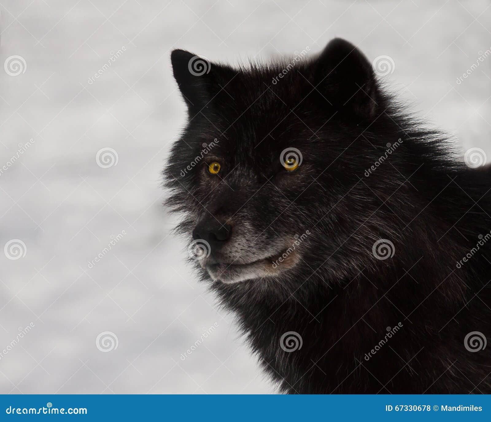 Schwarzer Wolf Stockfoto Bild Von Wildnis Canis Nave 67330678