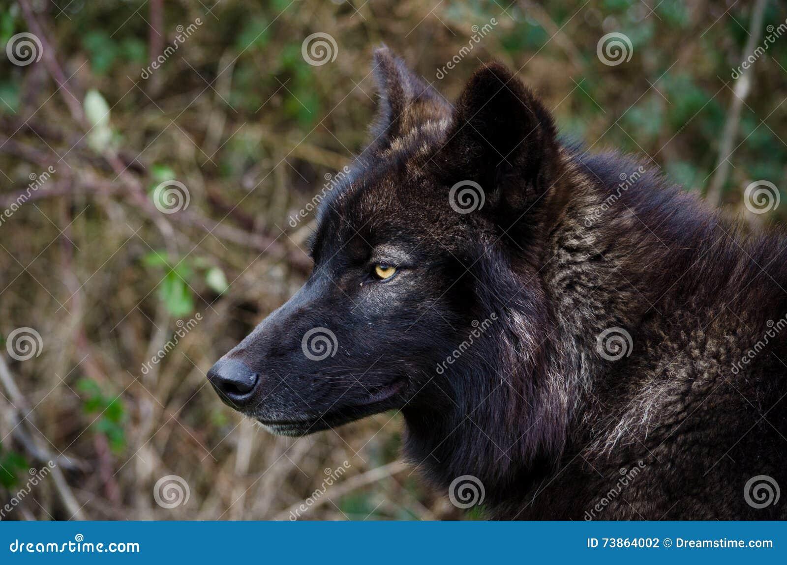 Schwarzer Wolf Look Stockfoto Bild Von Gelb Lupus Hunde 73864002