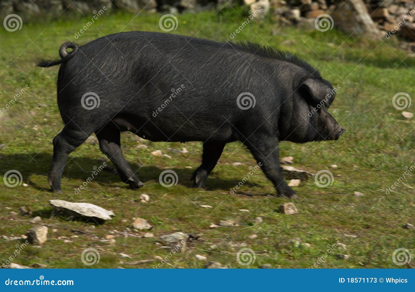 Gute schwarze Schweine Mein groГџer Schwanz streichelt