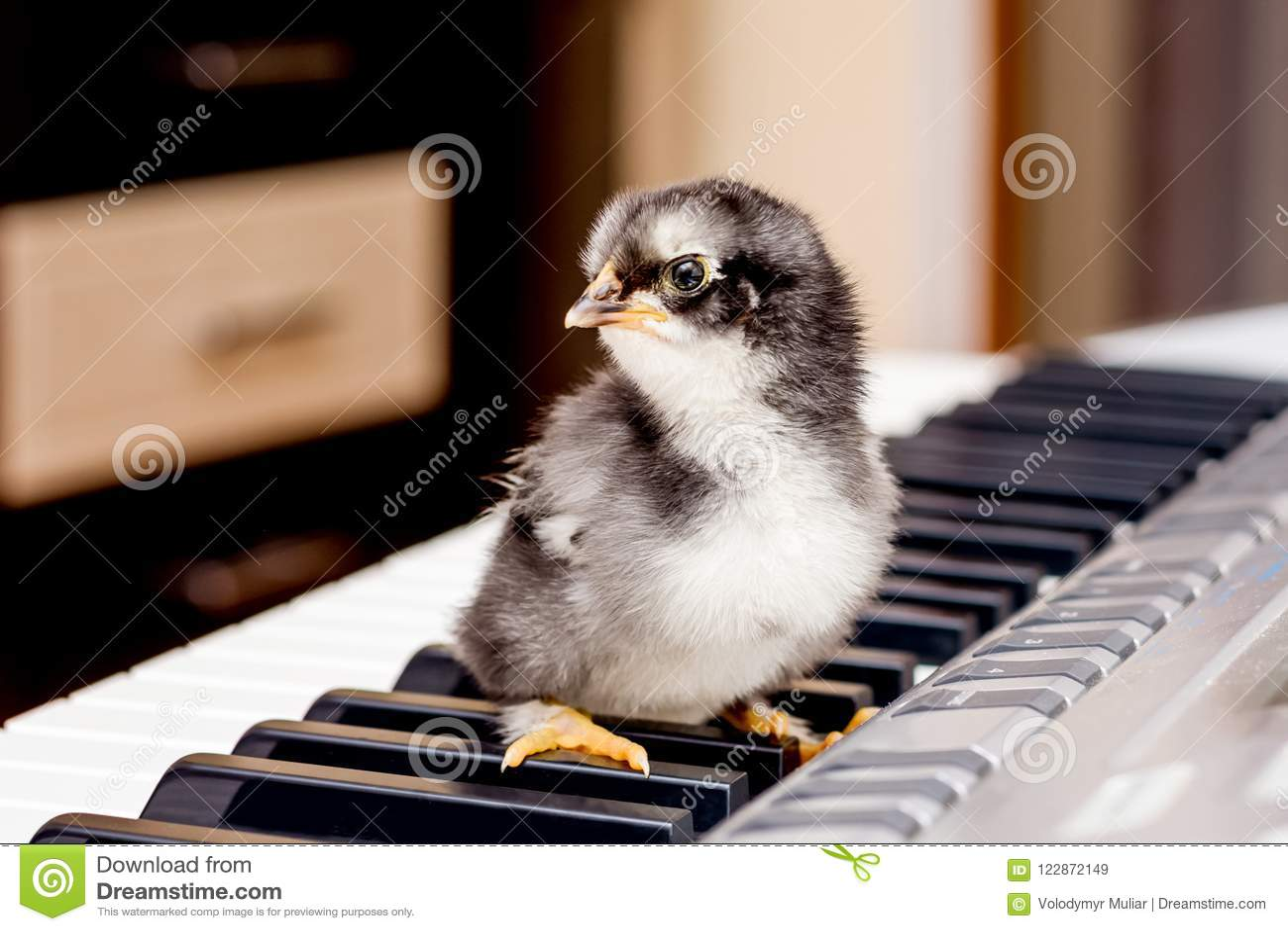 Schwarzes kleines Huhn auf den Schlüsseln des Klaviers Die ersten Schritte I