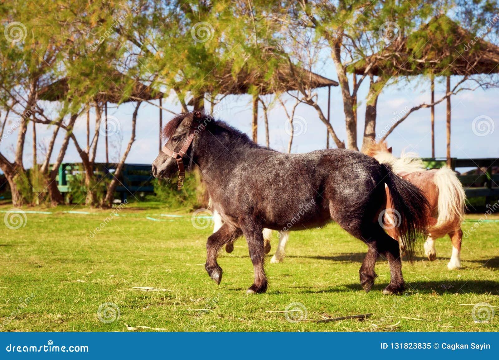 Schwarzes kleines Pony