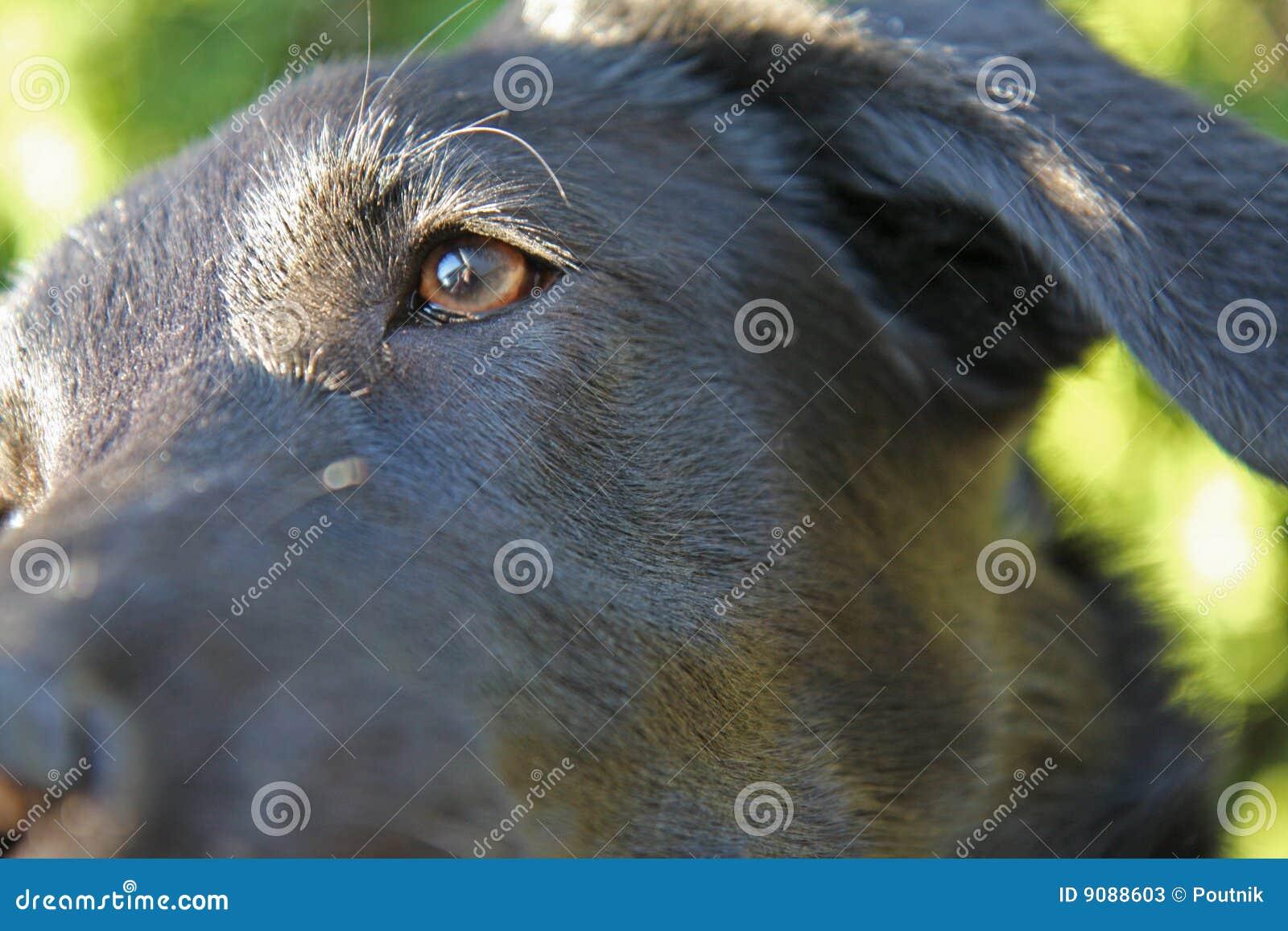 Schwarzes Labrador-Sonderkommando