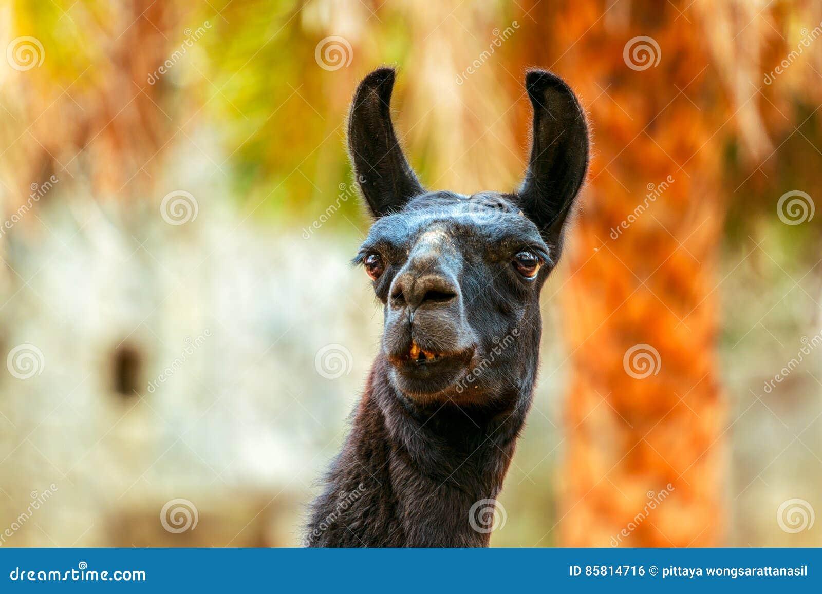Schwarzes Lama, das Gras auf Steinhintergrund isst
