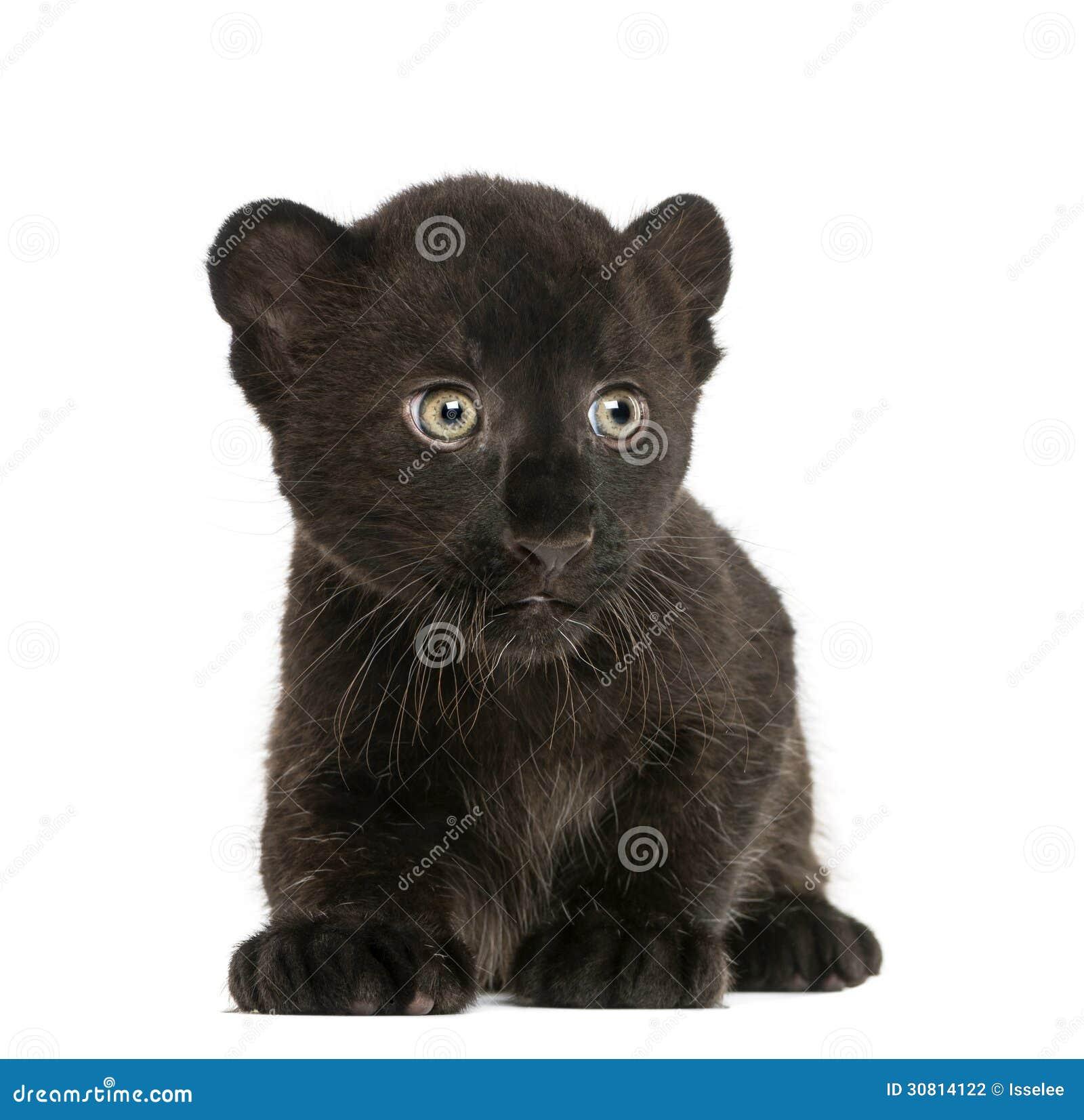 Schwarzes Leopardjunges, das, 3 Wochen alt knit