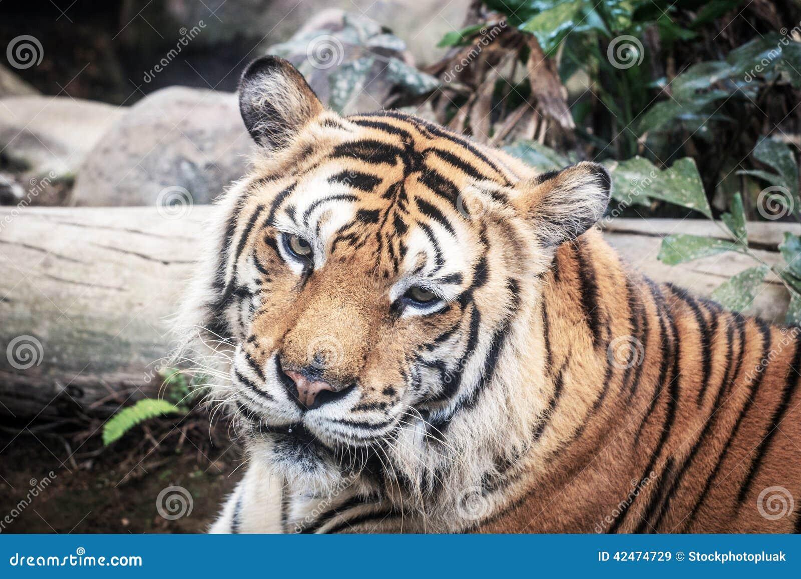 Schwarzes schönes Grundlicht des Hintergrundes A des heftigen Tigers