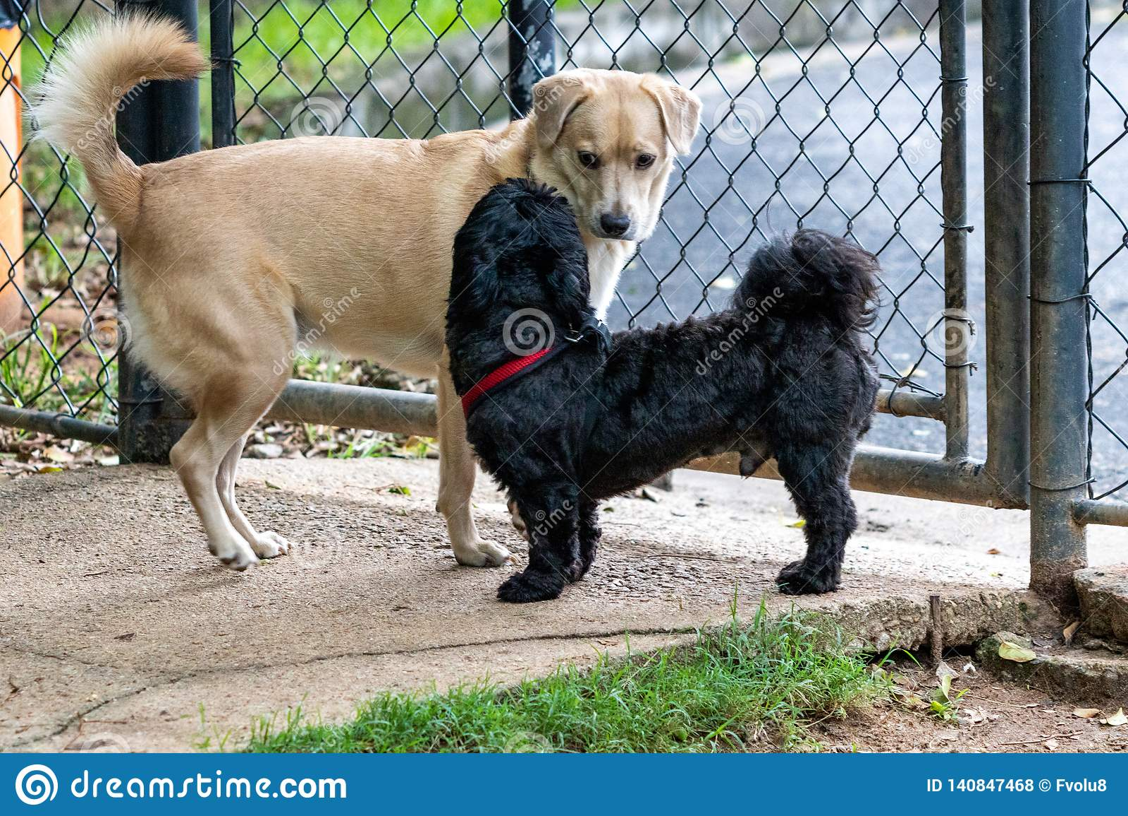 Schwarzes Shih Tzu und Mutt Dog, die im Park auf Frühjahr spielt