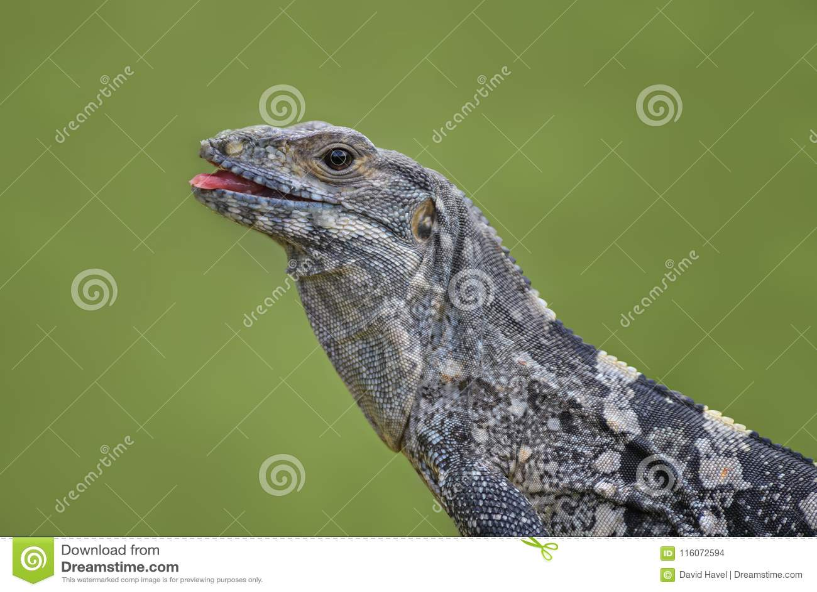 Schwarzes Stachelig-angebundener Leguan - Ctenosaura-similis